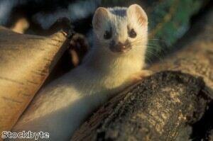 University seeks socks to help attract weasels